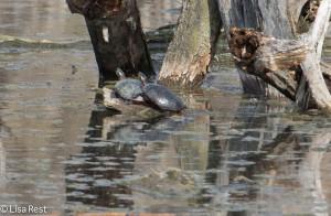 Turtles 4-13-14 6723.jpg-6723