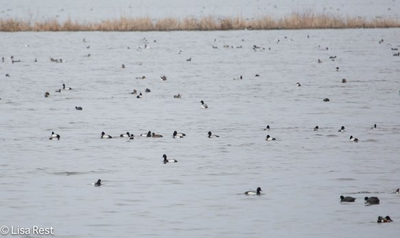 Waterfowl at Hennepin-Hopper