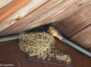 Barn Swallow Nest McKee 5-10-14.jpg-1259