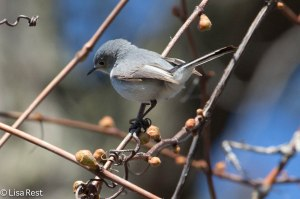 Blue-Gray Gnatcatcher, Chicago Portage