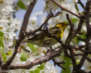 Cape May Warbler, Aon Building
