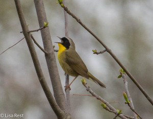 Common Yellow-Throat