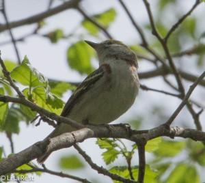 Chestnut-Sided Warbler, LaBagh
