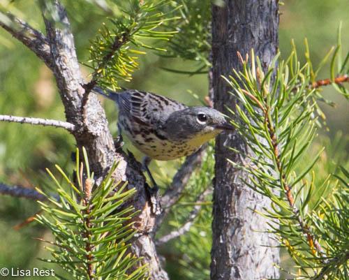 Female Kirtland's Warbler