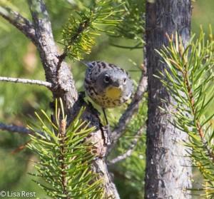Kirtland's Warbler Female-2869