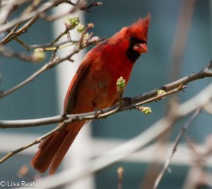 Northern Cardinal, Lake Shore East Park, 4-23-14