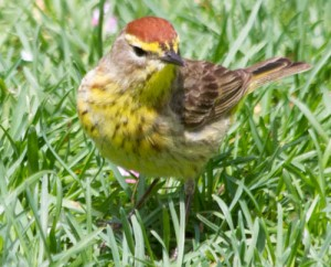 Palm Warbler, Lake Shore Easst Park