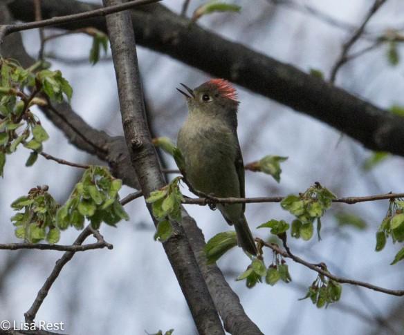 Ruby-Crowned Kinglet, LaBagh Woods