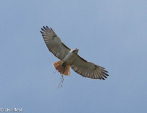 Red-Tailed Hawk with Nesting Material