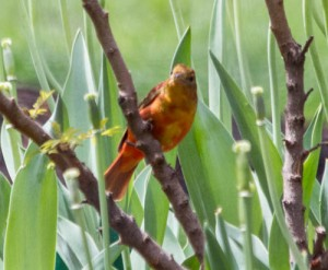 Summer Tanager, Lake Shore East Park