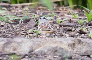 White-Crowned Sparrow - Yard Bird