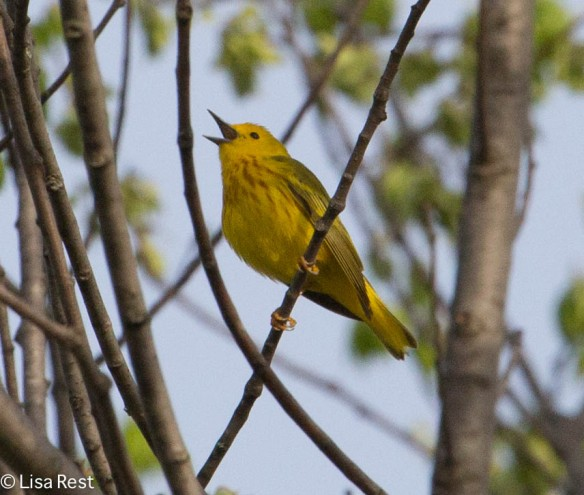 Yellow Warbler, McKee Marsh