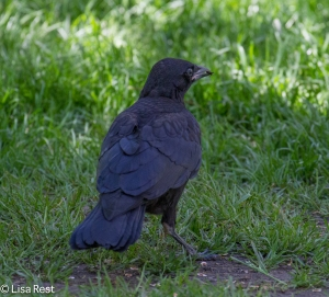 Crow Fledgling, LSE Park