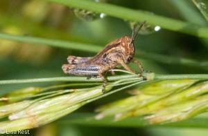 Baby Grasshopper 6-22-14-1880