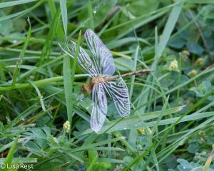Dragonfly 6-22-14-1951