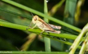 Grasshopper 6-22-14-1876
