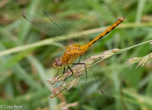 Meadowhawk or Skimmer 6-22-14-1862
