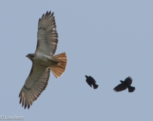 Red-Tailed Hawk chased by two Red-Winged Blackbirds