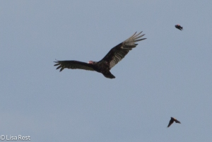 Turkey Vulture chased by Red-Winged Blackbirds