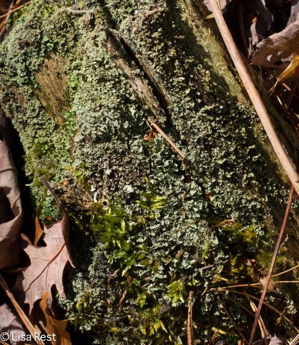 Wrinkled Shield Lichen