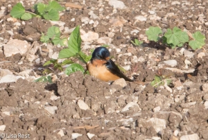 Barn Swallow possibly shopping for nesting material...