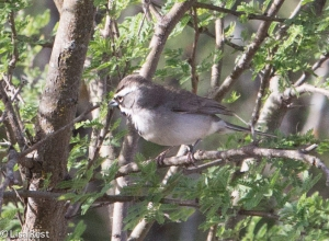 Black-Throated Sparrow 4-30-14-9666