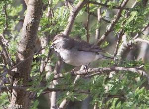 Black-Throated Sparrow 4-30-14-9666