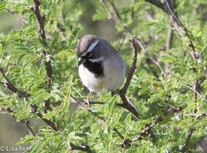 Black-Throated Sparrow 4-30-14-9670