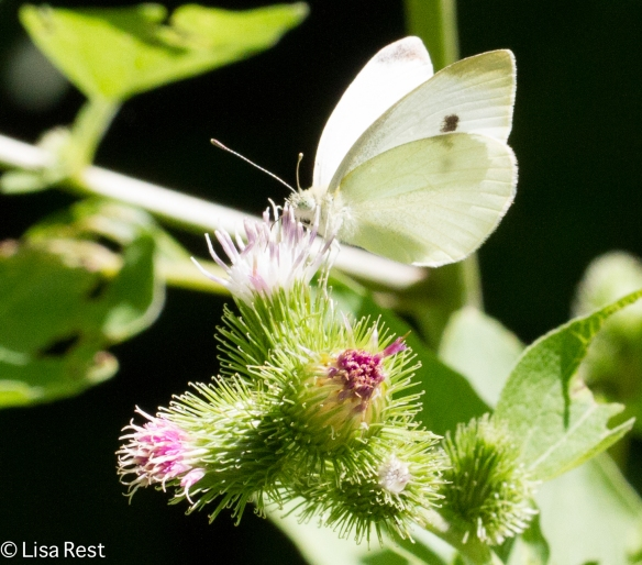 Cabbage White, Chicago Portage