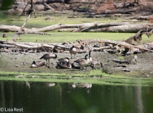 Canada Geese, Chicago Portage