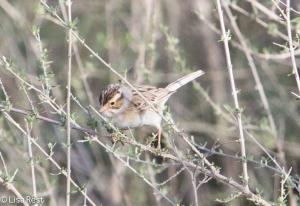 Clay-Colored Sparrow 4-30-14-9450