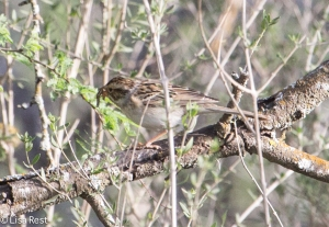 Clay-Colored Sparrow 4-30-14-9484