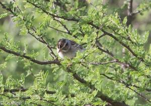 Clay-Colored Sparrow 4-30-14-9657