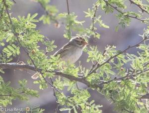 Clay-Colored Sparrow 4-30-14-9685