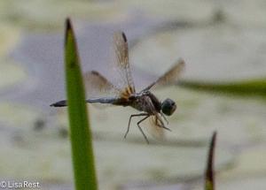Dragonfly - Pond Hawk 7-13-14-1312