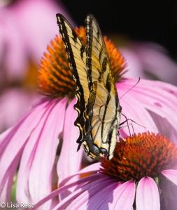 Eastern Tiger Swallowtail Yard 7-19-14-1543