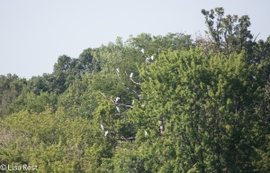 Great Egret Tree, McGinnis Slough