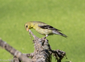 Female American Goldfinch, Chicago Portage