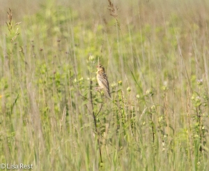 Female Bobolink