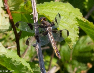 Female Twelve-Spotted Skimmer