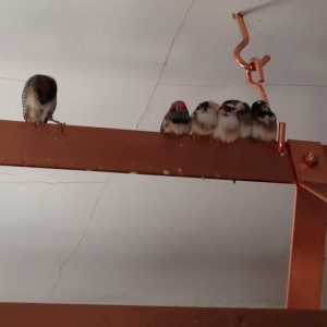 Finches on the Pot Rack