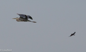 Great Blue chased by RWBB 7-6-14-0966