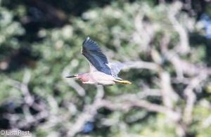 Green Heron, McGinnis Slough