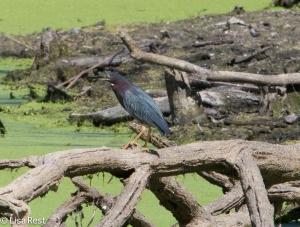Green Heron, Chicago Portage