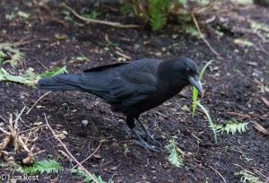Juvenile Crow 6-11-14-1564