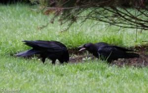 Juvenile Crow begging 6-11-14-1497
