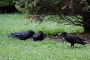 Juvenile Crow begging 6-11-14-1511