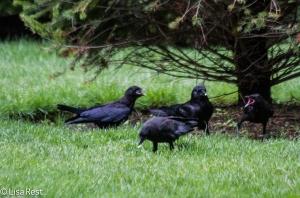 Juvenile Crow begging 6-11-14-1516