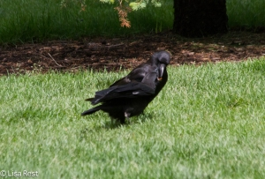 Juvenile Crow being Fed 6-11-14-1464