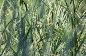 Marsh Wren in the Reeds